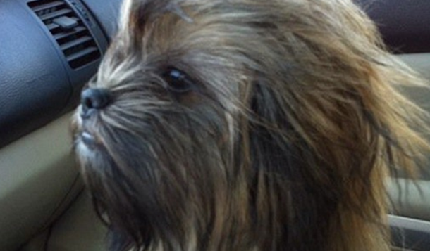 chien-wookie-dog